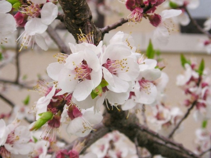 photo credit: Mandelbaum (Prunus dulcis) via photopin (license)