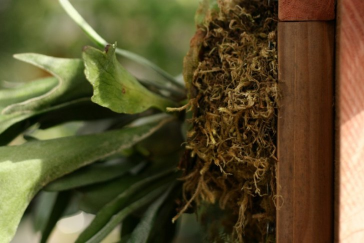 photo credit: staghorn fern mount via photopin (license)