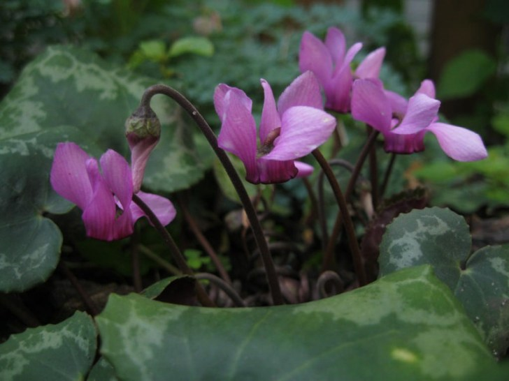 photo credit: Stubby cyclamen via photopin (license)