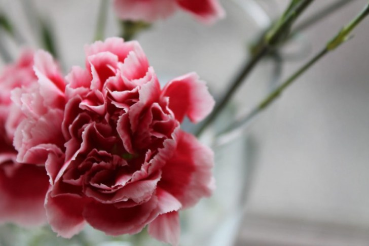 photo credit: Carnation close up via photopin (license)