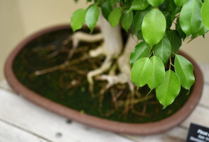 photo credit: HorsePunchKid Ficus Bonsai via photopin (license)