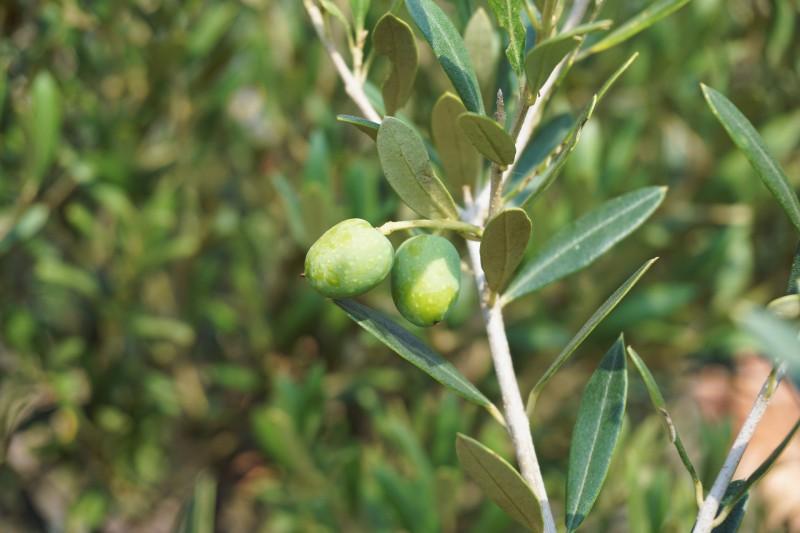 olives-1648883_1920