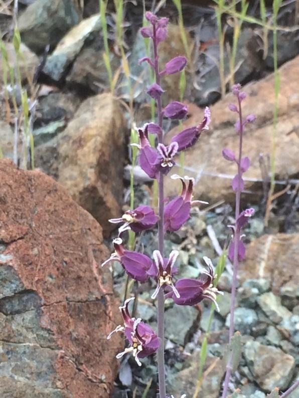 Streptanthus_glandulosus_pulchellus_1