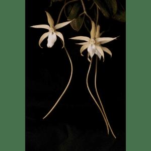 Aerangis monantha