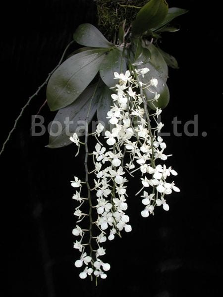 """Aerangis citrata - miniature """"moth orchid"""" flowers face the viewer on an arching inflorescence"""