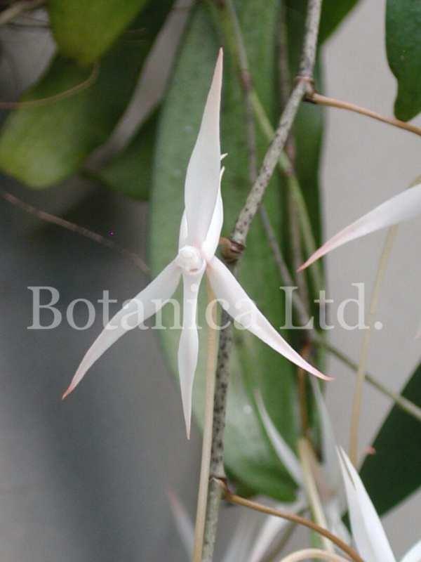 Aerangis arachnopus – many white flowers on zig-zag inflorescences