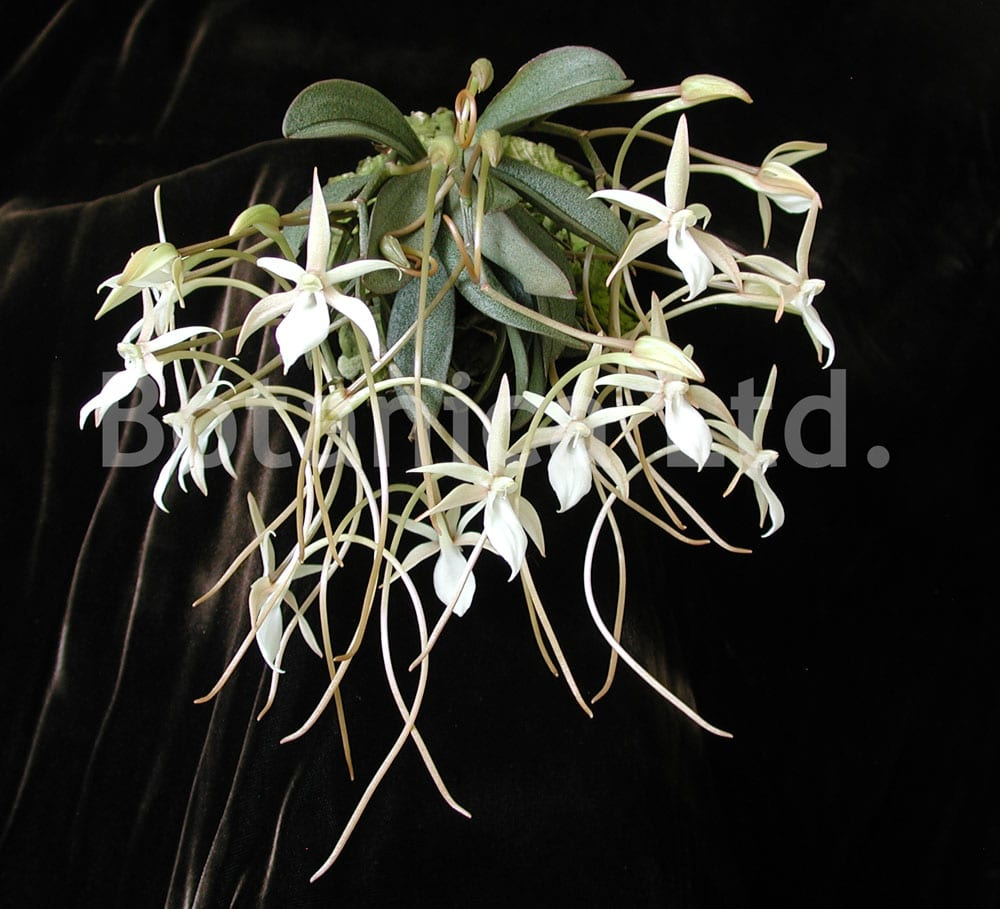 Aerangis punctata – each of many flowers are nearly the size of the plant itself