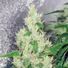 Y-griega_medical-SeedS