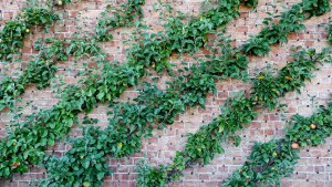 Apple tree pruning cordon against brick wall