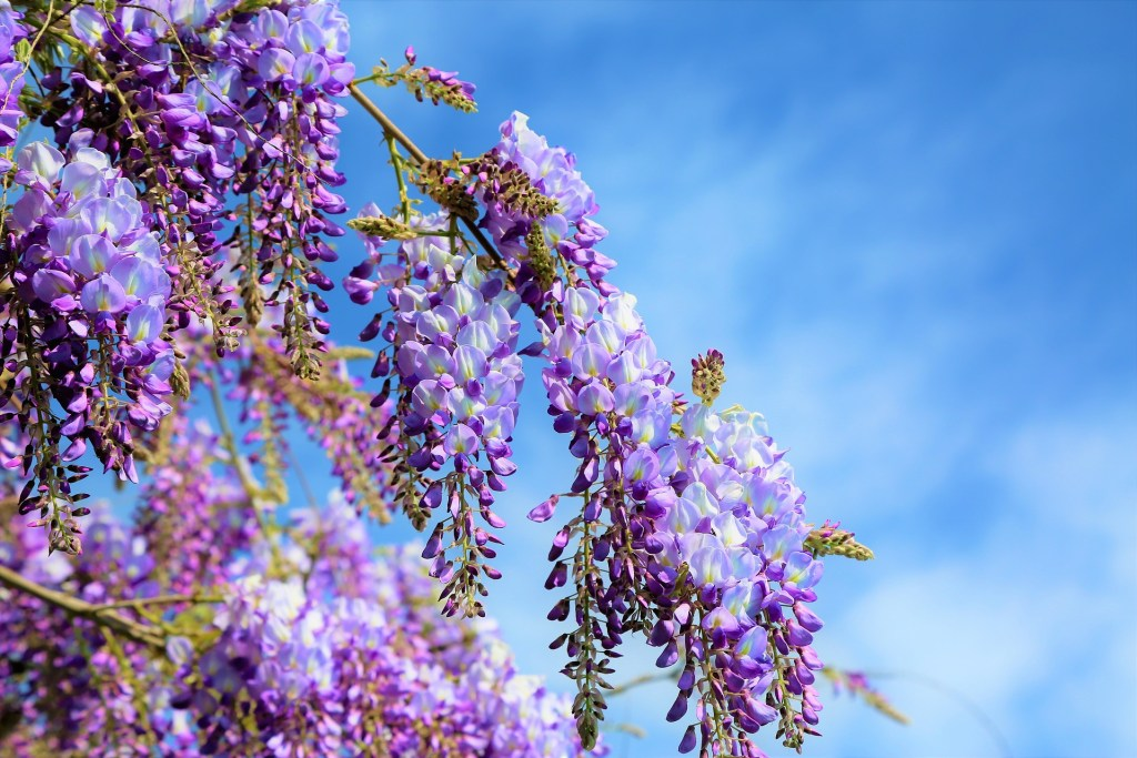 Purple wisteria in bloom