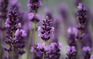 Purple lavender in bloom