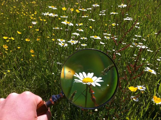 Daisy flowers under magnifying glass