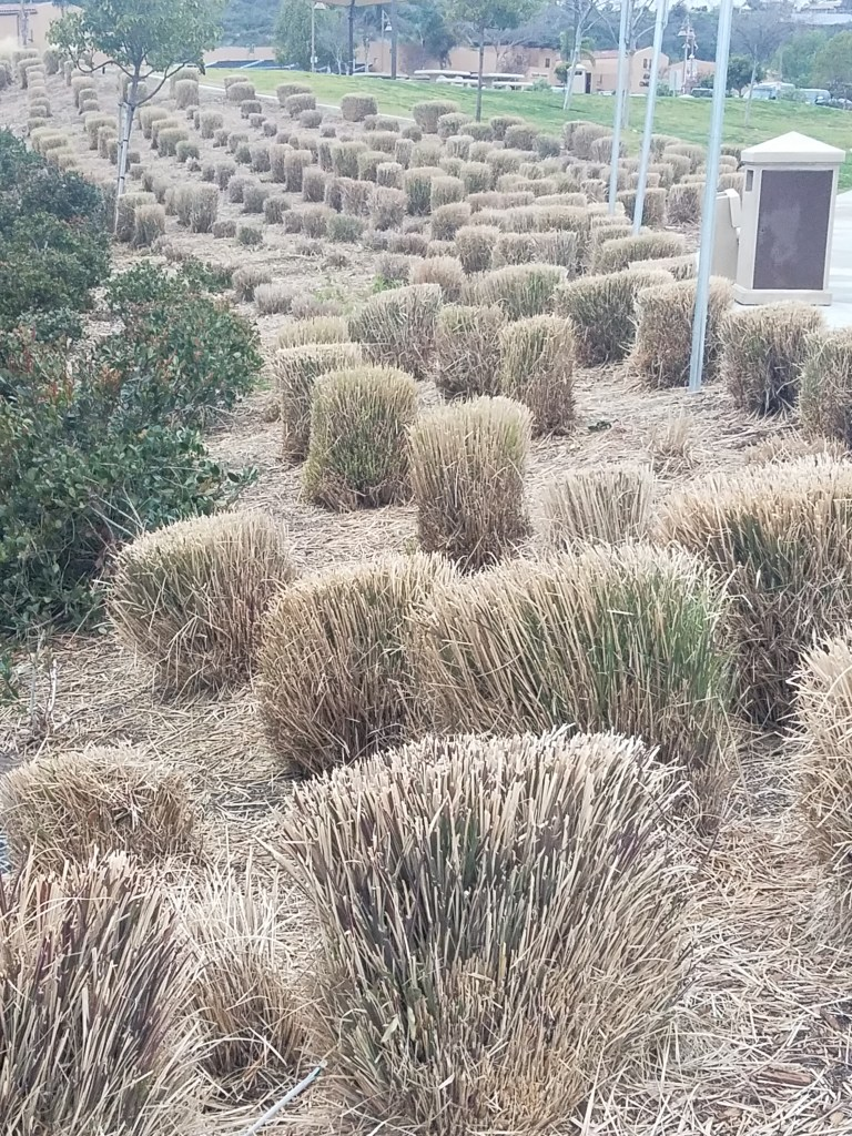 Ornamental grass cut back