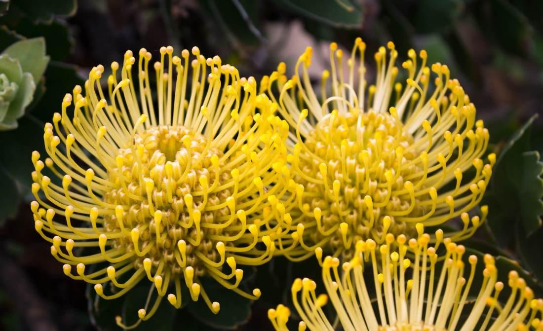 Protea flowers