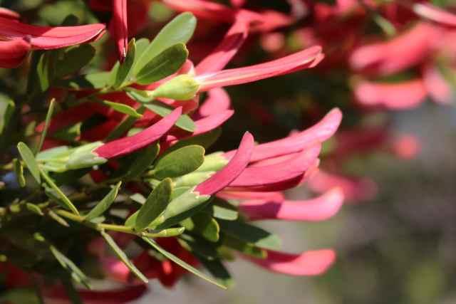 Pink flowering landscape shrub