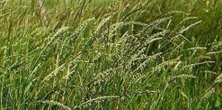 Agropyron_repens, couchgrass