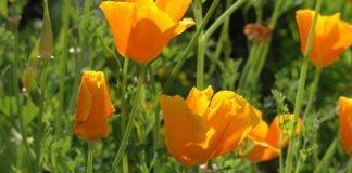 Eschscholzia_californica,Californian_Poppy