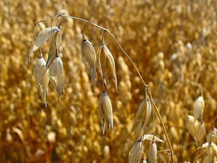 avena_sativa,oats