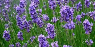 lavender,lavender_officinalis