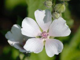 Marshmallow,