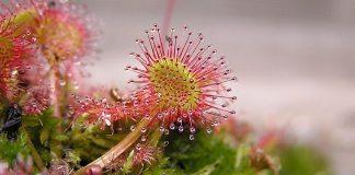 sundew,Drosera_rotundifolia