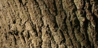 oak_bark,Quercus-robur-bark