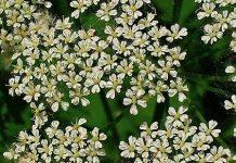 Aegopodium_podagraria,ground_elder