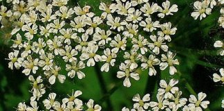 Aegopodium_podagraria,ground_elder
