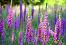 Lythrum_salicaria,_purple_loosestrife