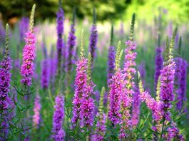 Lythrum_salicaria,_purple_loosestrife