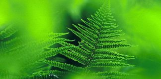 male_fern,Dryopteris_filix-mas