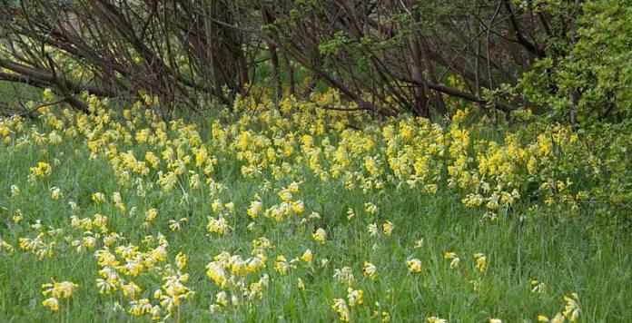 cowslip, Primula veris