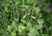 Prunella_vulgaris; Self-Heal
