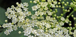 using elder flowers for natural treatment of flu and cold