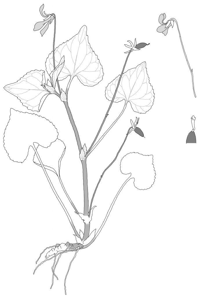 Viola pubescens. Aiton