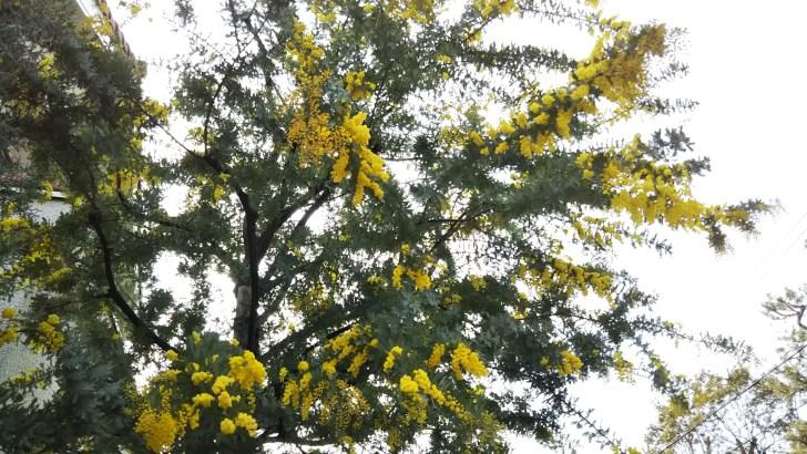 早春の黄色い花の代表格ミモザ