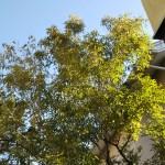 我が家のシンボルツリー、シマトネリコ