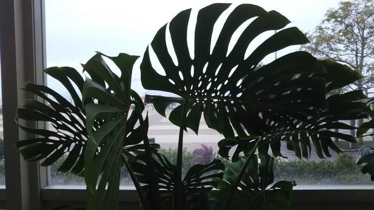 モンステラもしっかり育つ温室仕様。