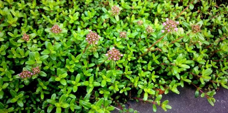 4月。花芽を付けだすロンギカリウスタイム