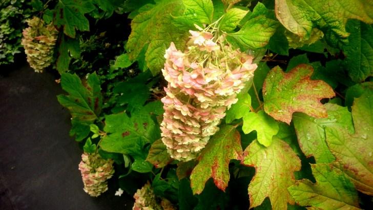 7月のカシワバアジサイの花 すっかり下垂