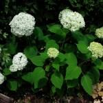 花色が緑から白に向かう6月の【アナベル】