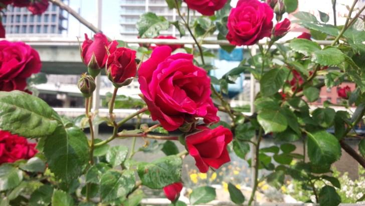 ドイツ原産のつる紅バラ【シンパシー】