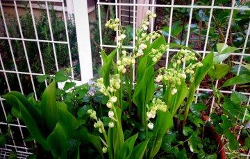 4月下旬のドイツスズラン。鉢植えの間は白い花を咲かせてくれた。