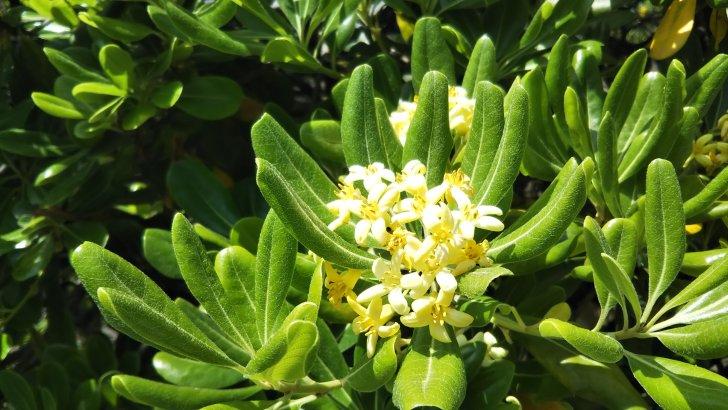 トベラの花はいい香りだが、枝を折ると臭いらしい…