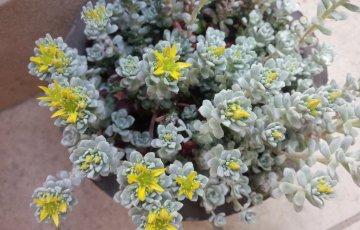 5月に咲かせる黄色い花が美しい白雪ミセバヤ