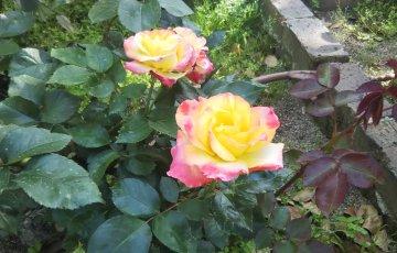 変色花のフレンチローズ【チャールストン】