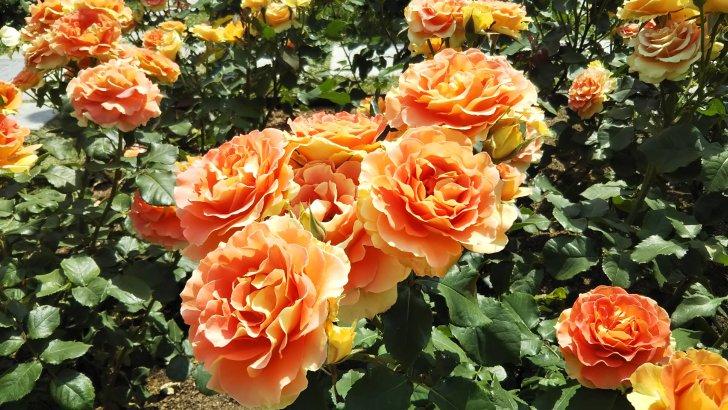 陽気なオレンジローズ【ブラスバンド】@中之島バラ園