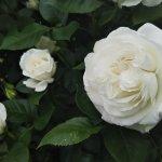 美し過ぎる白バラ【アンナプルナ】その名前の由来は…⁉️
