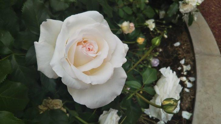 【ヨーク ミンスター】京都府立植物園 バラ園にて☺️イイネ