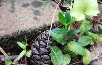 2年前、こぼれダネで芽を出したオリーブを発見